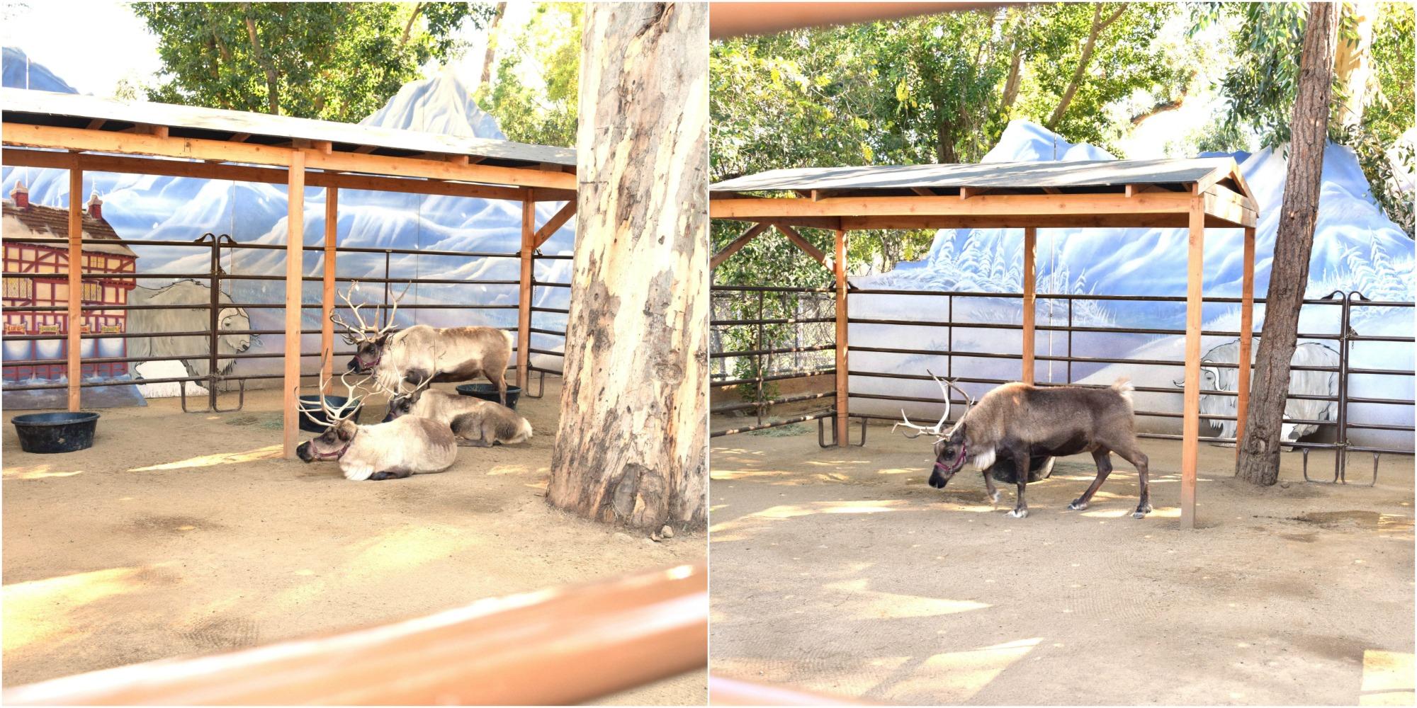 Live reindeer at the LA Zoo #ReindeerRompLA